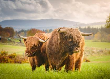 Images of highland cows at Aberdeenshire Highland Beef experience